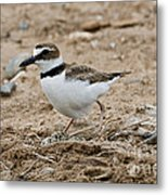 Wilsons Plover At Nest Metal Print