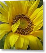 Windblown Sunflower Three Metal Print