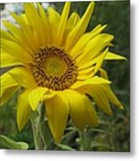 Windblown Sunflower Two Metal Print