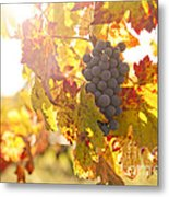 Wine Grapes In The Sun Metal Print