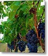 Wine Grapes On The Vine Metal Print