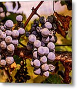 Wine Grapes On The Vine Metal Print