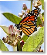Wings Up Monarch Butterfly By Diana Sainz Metal Print