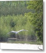 Wings Wide Open Great Blue Heron Mighty Sight Metal Print