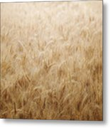 Winsome Wheat Metal Print by Amy Tyler