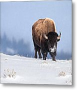 Winter Bison Metal Print