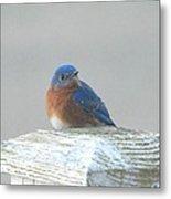 Winter Bluebird Metal Print