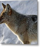 Winter Coyote In Yellowstone Metal Print by Bruce Gourley