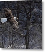 Winter Eagle Flight Metal Print