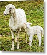 Winter Lamb And Ewe Metal Print