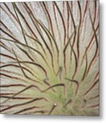 Winter Pasque Flower Metal Print