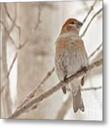 Winter Pine Grosbeak Metal Print