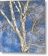 Winter Sycamore Metal Print