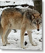 Winter Wolf In The Snow Metal Print