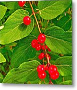 Winterberry Along Rivier Du Nord Trail In The Laurentians-qc Metal Print
