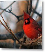 Northern Cardinal Red Beauty  Metal Print