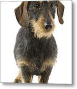 Wire-haired Dachshund Metal Print