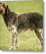 Wirehaired Pointing Griffon Metal Print