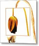Withered Tulip Flower. Vintage-look Metal Print