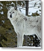 Wolf - Curiousity Metal Print