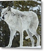 Wolf - Discovery Metal Print