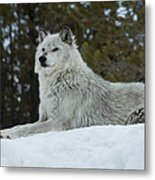 Wolf - Peaked Interest Metal Print