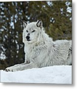 Wolf - Resting Metal Print