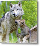 Wolf Of Minnesota Metal Print