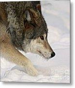 Wolf Dreams Metal Print