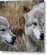 Wolf Glare II Metal Print