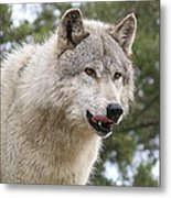 Wolf Hungry For Dinner. Metal Print