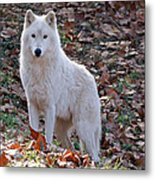 Wolf In Autumn Metal Print