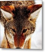 Wolf In The Wild Metal Print