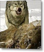 Wolf Protecting Kill Metal Print