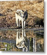 Wolf Pup Reflection Metal Print