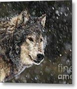 Wolf - Snow Storm Metal Print