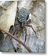 Wolf Spider And Spiderlings Metal Print