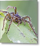Wolf Spider In Dew  Metal Print