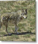 Wolf Metal Print by Tom Wilbert