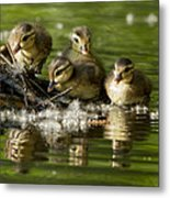 Wood Duck Babies Metal Print