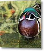 Wood Duck Be Still Metal Print