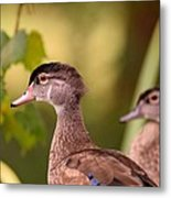 Wood Duck Close Up 1 Metal Print