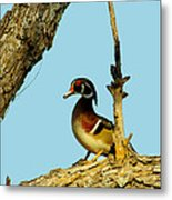 Wood Duck Drake In Tree Metal Print