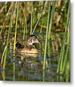 Wood Duck Drake Metal Print
