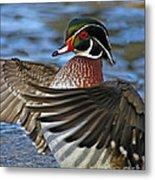 Wood Duck Standing Ovation Metal Print