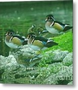 Wood Ducks Hanging Out Metal Print
