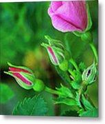 Wood Rose Buds Rosa Woodsii Wild Metal Print