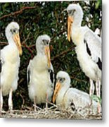 Wood Stork Young In Nest Metal Print