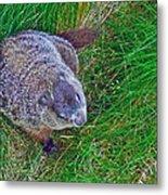 Woodchuck In Salmonier Nature Park-nl Metal Print