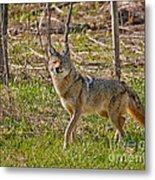 Woodland Coyote Metal Print